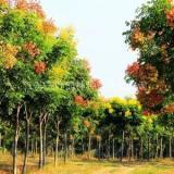 盐城市8公分黄山栾价格 苏州周边哪里有苗木场 批发工程苗木