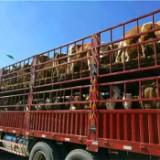 西门塔尔牛犊价格物美价廉 河北肉牛市场价格低