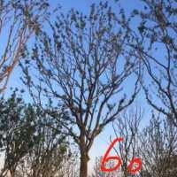 单杆朴树批发价,种植基地,报价