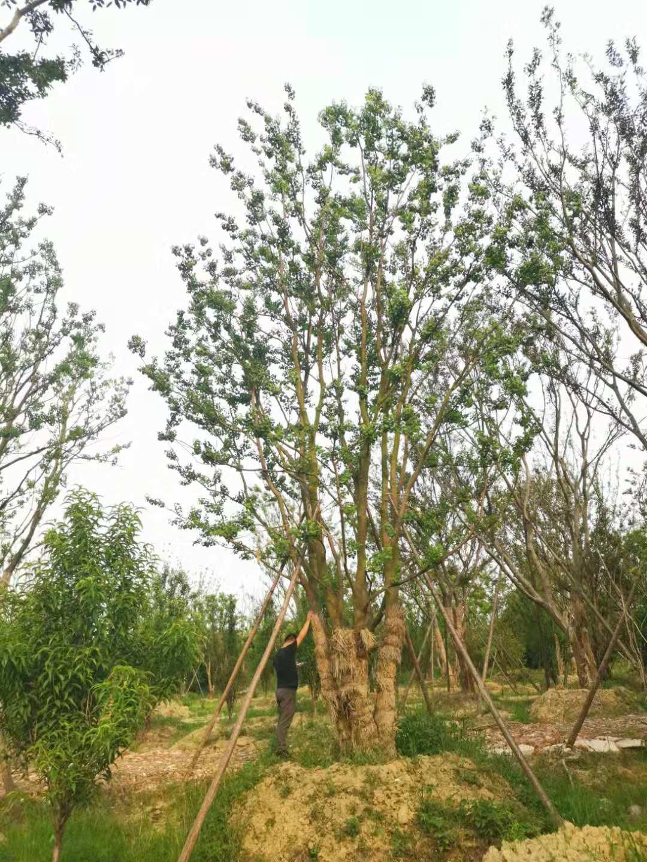 丛生乌桕树苗 乌桕基地直销 优质绿化乌桕树苗