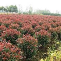 浙江红叶石楠球苗木种植批发基地销售价格