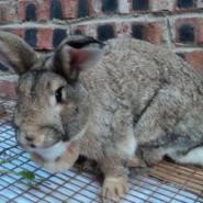 比利时兔图片