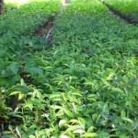 九江市大量出售重阳木小苗-专业种植-基地-报价-批发