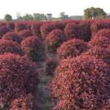 安徽红叶石楠球批发、价格、种植基地【安徽来安超华苗圃】