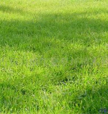 混播黑麦草图片/混播黑麦草样板图 (4)