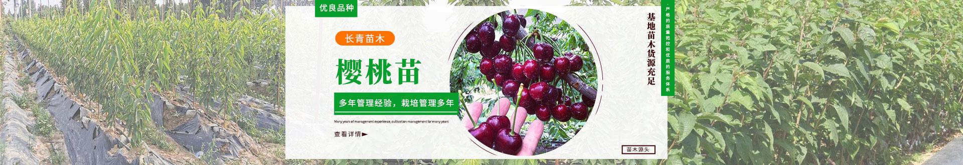 莱阳市樱桃苗木种植销售中心